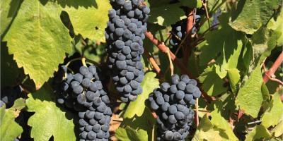 Vitis Vinifera: mica solo vino
